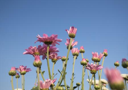 beatiful: beatiful chrysanthemums flower with blue sky background Stock Photo