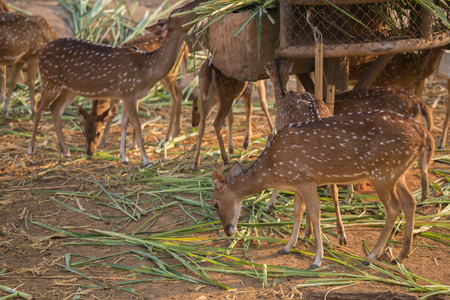 axis deer: Chital, Cheetal, Spotted deer, Axis deer eating grass