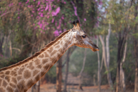 giraffa: Giraffe head with neck , (giraffa camelopardalis)