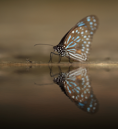 reflect: Dark Blue Tiger (Tirumala septentrionis) on wood with water reflection