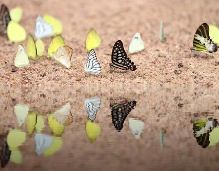 reflect: Group of  butterfly on the ground (Common Jay, Graphium antiphates itamputi (Butler),  Small Grass Yellow, Striped Albatross) with water reflection