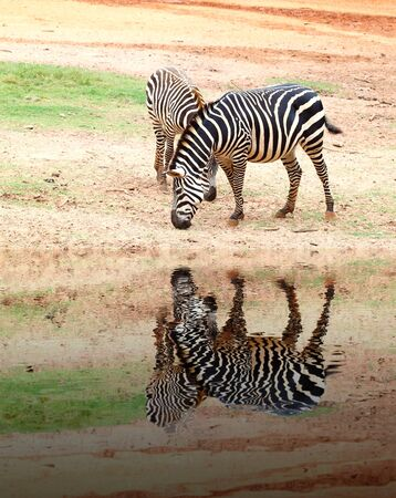 sandy soil: two small zebra eating  grass on sandy soil with water reflection Stock Photo
