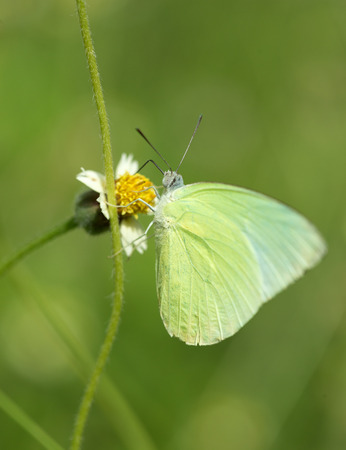 thorax: Common Grass Yellow butterfly (Eurema hecabe contubrenalis (Moore)) on a grass flower