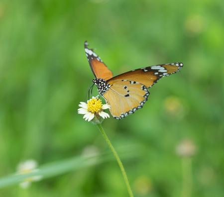 plexippus: Plain Tiger butterfly (Danaus chrysippus butterfly) on a grass flower