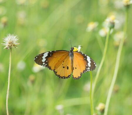 tropical garden: Plain Tiger butterfly (Danaus chrysippus butterfly) on a grass flower
