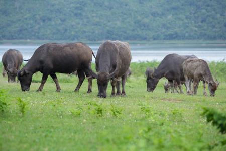 buffalo grass: water buffalo eating grass on the field