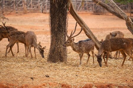 red deer on the red dry soil