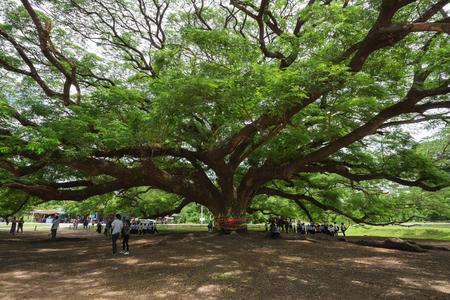 KANCHANABURI, THAILAND - June 24: Giant Monky Pod Tree with people visited on June 24, 2017 in Kanchanaburi, Thailand