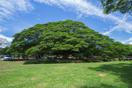 largest tree: KANCHANABURI, THAILAND - June 24: Giant Monky Pod Tree with people visited on June 24, 2017 in Kanchanaburi, Thailand
