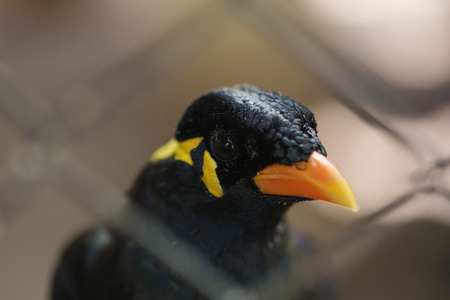 common myna bird: Common Hill Myna bird in a cage