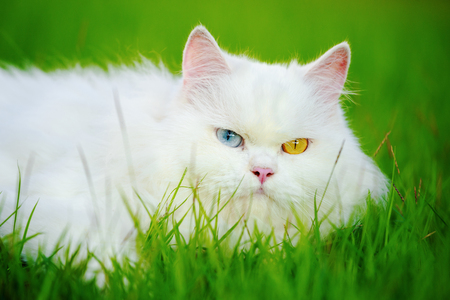 white Persian cat with 2 different-colored eyes (heterocromatic eyes) on the grass field