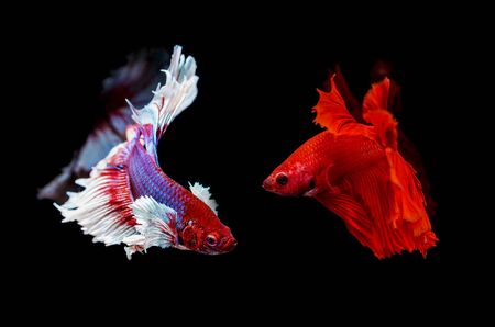 two siamese fighting fish on a black background