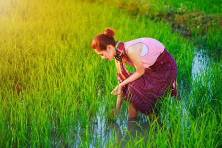 farmer woman working in rice field, Thailand