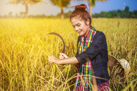 farmer woman using sickle to harvesting rice in field, Thailand