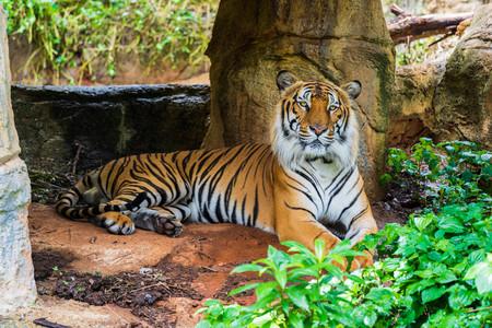 El tigre de Bengala descansando en el bosque