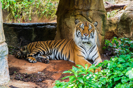 The Bengal tiger resting in the forrest 免版税图像