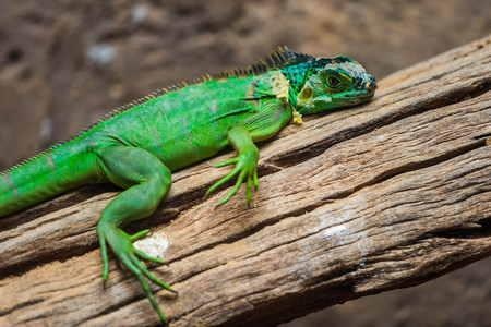 Lesser Antillean Green Iguana (Iguana delicatissima) on wood