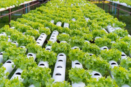 Green Oak hydroponics vegetable farming