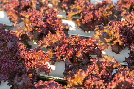 red coral lettuce hydroponics vegetable farming