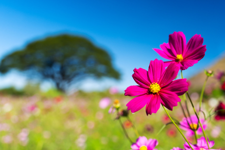 beautiful cosmos flower in field