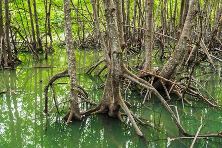 mangrove forest tree and root at Tung Prong Thong, Rayong province, Thailand