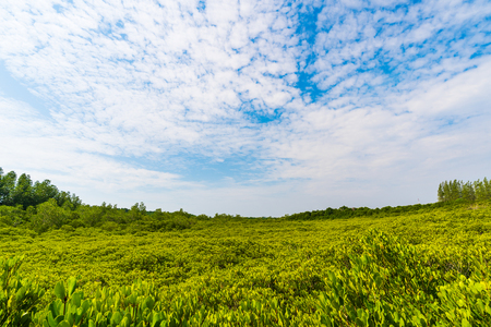 green mangrove forest at Tung Prong Thong or Golden Mangrove Field, Rayong province, Thailand Stok Fotoğraf
