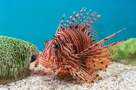 Lionfish (Pterois volitans) in water