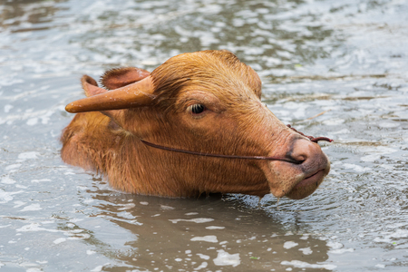 albino water buffalo is playing and swimming in the pond
