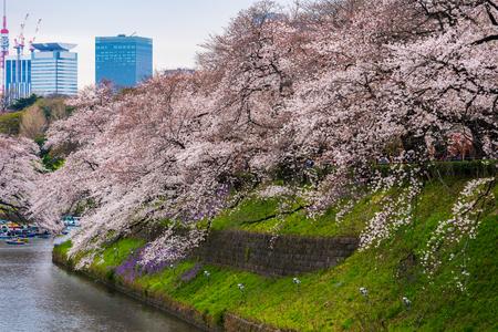 beautiful Sakura, Cherry blossom festival at Chidorigafuchi Park