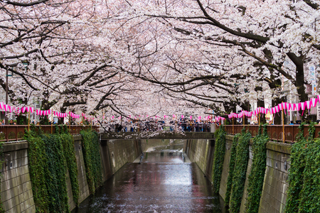 TOKYO, JAPAN - MARCH 29, 2019: Cherry blossom festival in full bloom at Meguro River . Meguro River is one of the best place to enjoy it