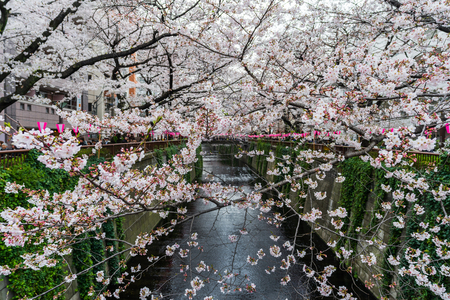 Cherry blossom festival in full bloom at Meguro River . Meguro River is one of the best place to enjoy it