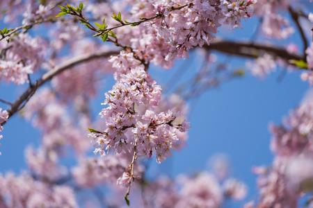 beautiful sakura, cherry blossom in Tokyo, Japan
