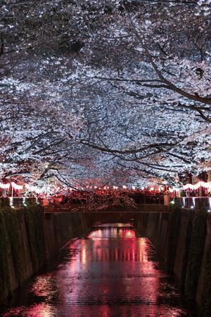 beautiful Sakura, Cherry Blossom flower with light at night in Meguro river, Tokyo, Japan Stock Photo
