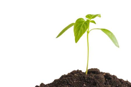 Groene spruitplanten die groeien uit hoop grond, geïsoleerd op een witte achtergrond.