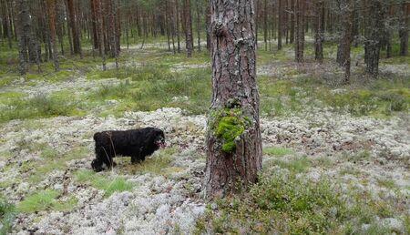 The dog walks in the forest, black coat, walking with a pet Reklamní fotografie