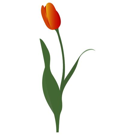 Color vector illustration of a Tulip. Red-yellow Bud. Plant on an isolated background. Cartoon style. Idea for a sticker, greeting card design, book. Floral print. 일러스트