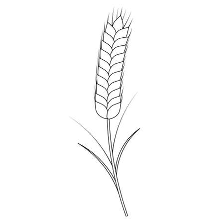 Ear of wheat. A cereal crop needed to make flour. Vector illustration. Outline on an isolated white background. Doodle style. Sketch. Coloring book for children.