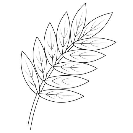 Rowan leaf. Part of the tree with veins. Vector illustration. Outline on an isolated white background. Doodle style. Sketch. Coloring book for children. A leaf of a tree from the rose family.