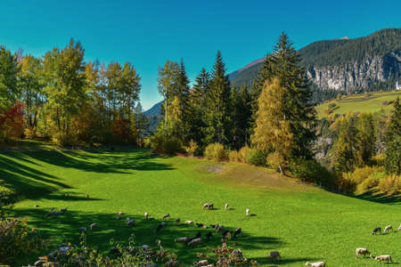 Colorful swiss autumn landscape with sheep in Filisur. Taken near Davos.
