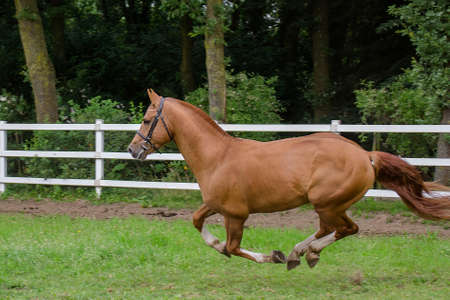 Freiberger stallion galloping