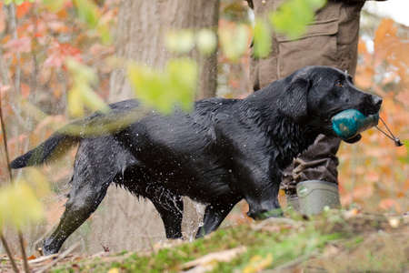 retrieves: A Labrador retrieves a dummy Stock Photo