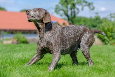 pointer dog: German Shorthaired Pointer dog Stock Photo