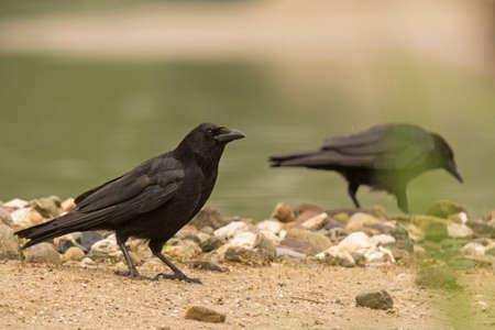 omnivore animal: Rabenkrähe (Corvus corone) Stock Photo