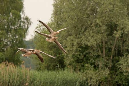 anser: Greylag Goose (Anser anser)