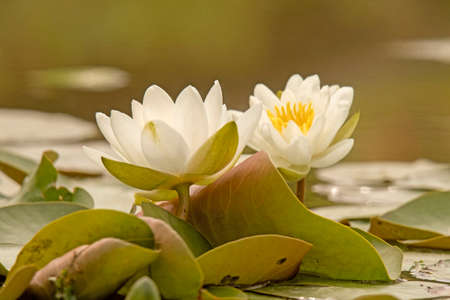 Water lily (Nymphaea) Stock Photo