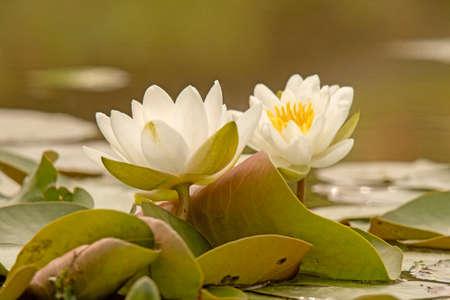 seerosen: Water lily (Nymphaea) Stock Photo