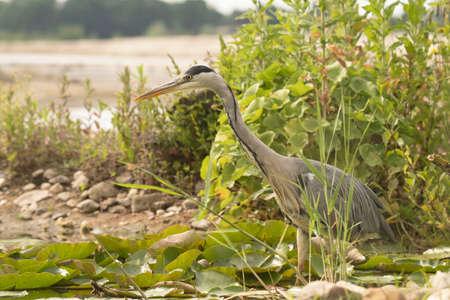 ciconiiformes: Grey Heron (Ardea cinerea)