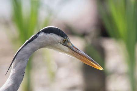 ardea: Grey Heron (Ardea cinerea)