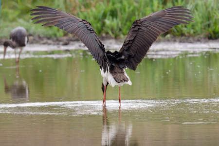 black stork: Black Stork (Ciconia nigra)