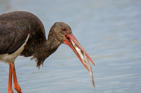ciconiiformes: Black Stork (Ciconia nigra)